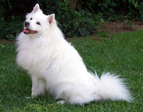 dogs wiki file american eskimo jpg
