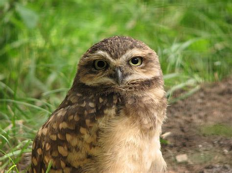 burrowing owl facts habitat diet life cycle baby pictures