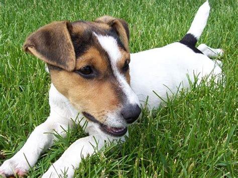 alimentazione cani piccola taglia russel alimentazione cani taglia piccola