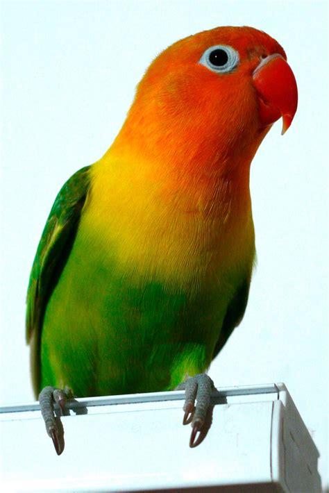 For Lovebird fischer s lovebird agapornis fischeri birds pets