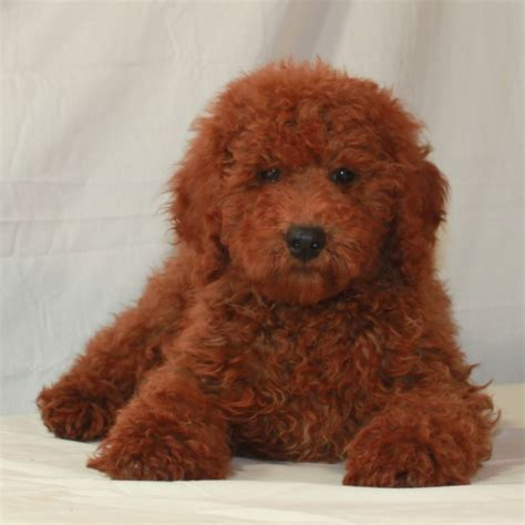 poodles puppies for sale image gallery poodle