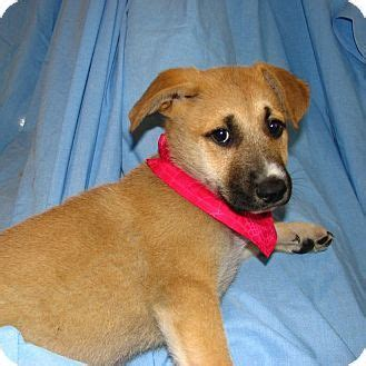 puppy rescue illinois german shepherd puppy rescue illinois breeds picture