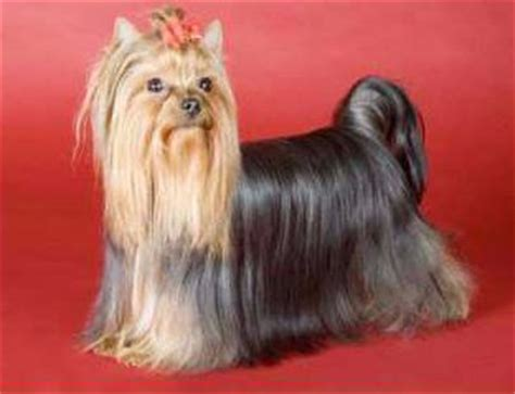 what do yorkies like terrier appearance what does a yorkie look like