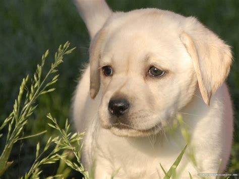 lab puppies ta labrador retriever razas perros mascotas