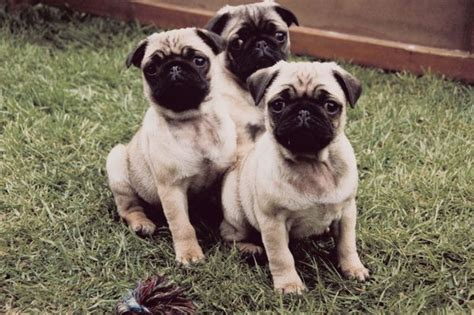 how to care for pugs how to care for baby pugs pets