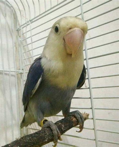 download mp3 lovebird download suara lovebird ngekek isian kenari mp3 binatang