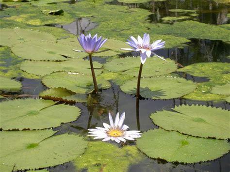 imagenes de flores sobre el agua tallerdenaturales home