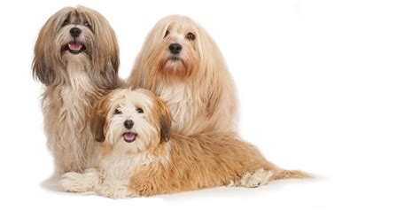 how much do havanese dogs weigh havanese dogs and puppies breeds journal