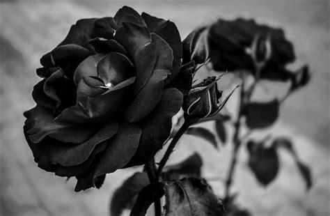 gambar bunga mawar rose beserta klasifikasi jenis
