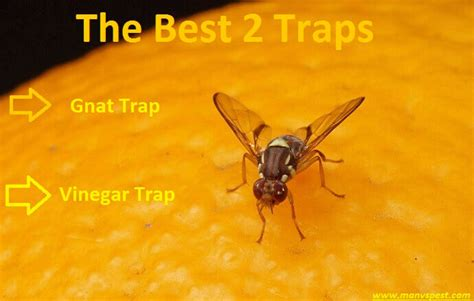 why do i have fruit flies in my bathroom how to get rid of fruit flies the best 2 traps for