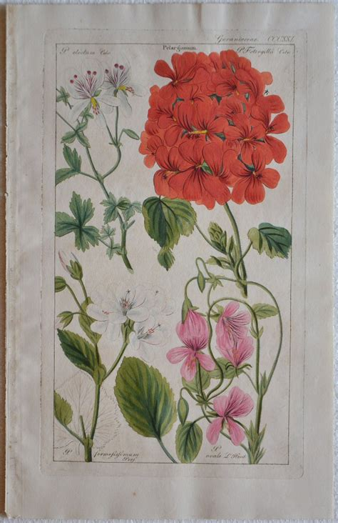 libreria antiquaria piemontese geraniaceae pelargonium libreria antiquaria piemontese