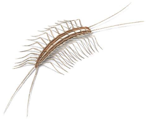 Bed Bugs In Ohio Centipedes Centipede Facts Amp Control
