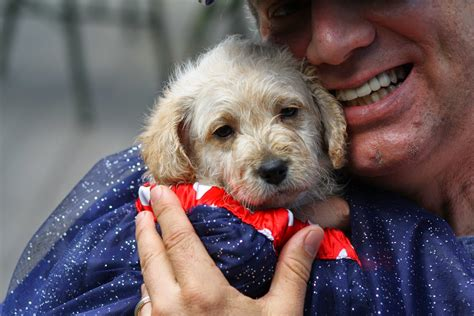 mini labradoodles seattle daisey s doodles seattle happy 4th of july from the