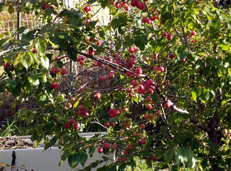 are american or black canadian plum trees self