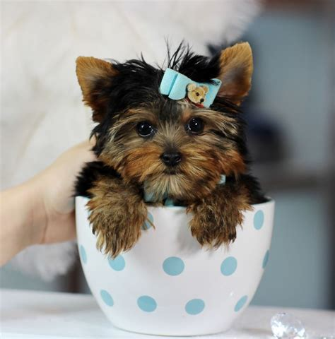 photos of teacup yorkies teacup yorkies bring this baby home today