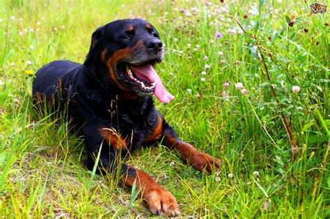 rottweilers as pets the rottweiler a family pet pets4homes