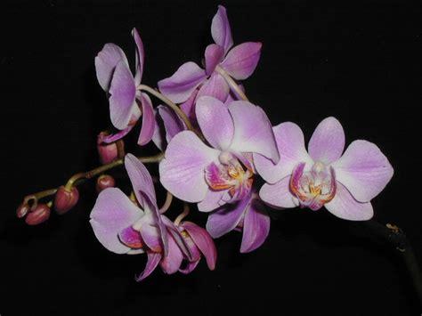 antonio fiori orchidee dei miei amici
