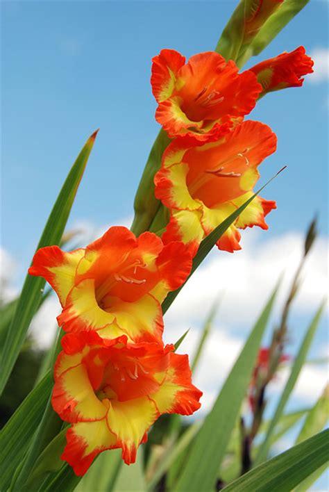 imagenes flores gladiolos gladiolos fotos de gladiolos gladiolos im 225 genes