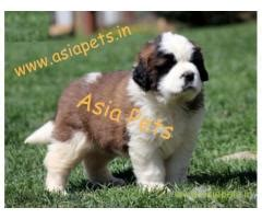 havanese puppies price in bangalore dogs for sale in bangalore puppy at price