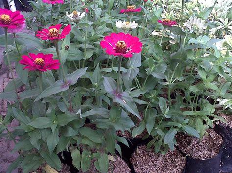 Bibit Tanaman Merambat Bunga Thunbergia Ungu jual bibit tanaman bunga zinnia ungu dwiwarna group