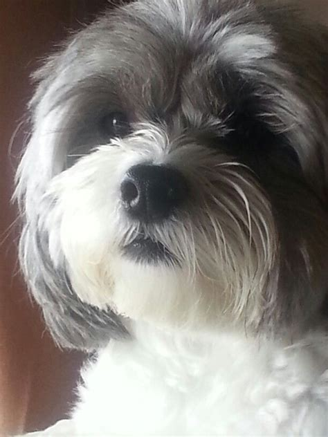shihpoo puppy cut 17 best ideas about shih poo on pinterest small puppies