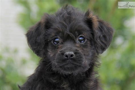 mixed puppies for sale near me mixed other puppy for sale near lancaster pennsylvania a350a9d5 cc91