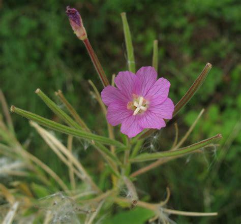 fiori ermafroditi epilobium hirsutum l