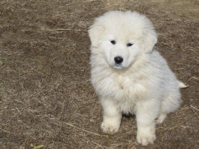 livestock guardian for sale livestock guardian dogs for sale breeds picture