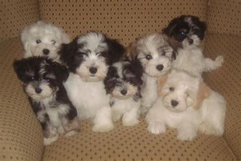 cuban havanese puppies pin by lowrey on pets