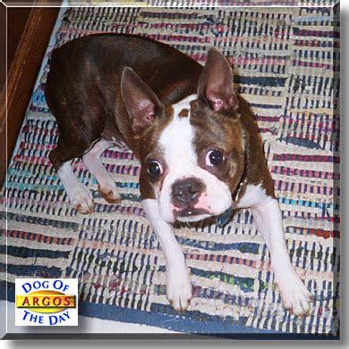 argos dog house argos boston terrier may 3 2003