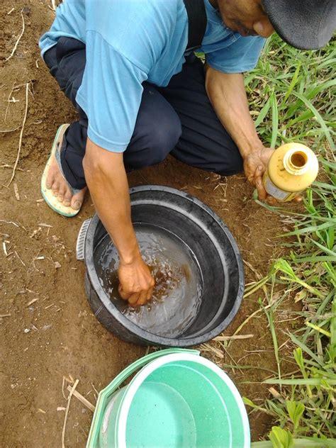 Bibit Ubi Kayu cara perlakuan bibit ubi kayu sepele tapi penting oprak