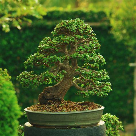 buy tree the 25 best jade bonsai ideas on buy bonsai