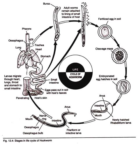 cycle of hookworm with diagram