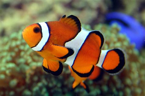 3d Origami Nemo Fish Ikan Nemo clown fish info and new photos images the wildlife