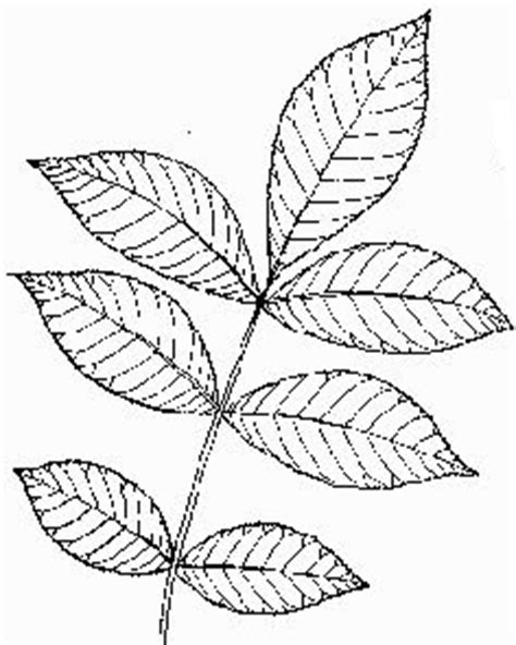 hickory tree coloring page coloring pictures of a pecan tree coloring pages