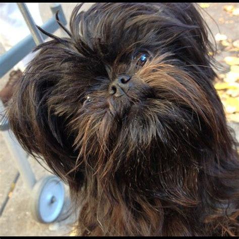 chewbacca puppy affenpinscher affenpinscher