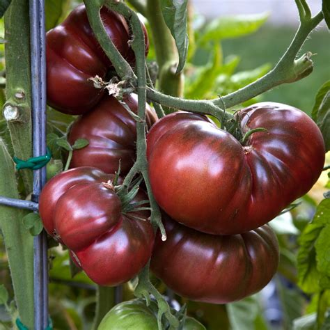 advantages of heirloom vegetables over genetically modified vegetables welcome to todd s seeds