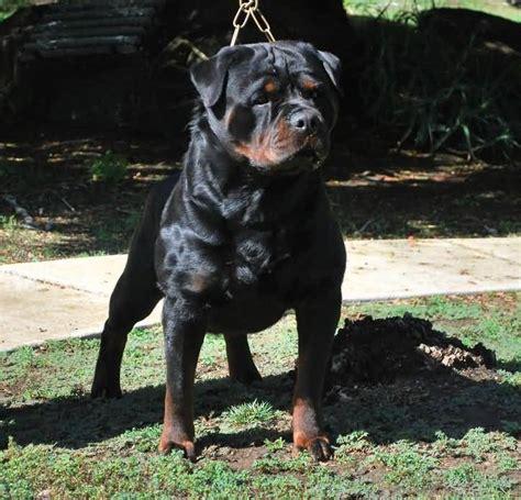 black rottweiler 55 fantastic rottweiler and puppies golfian