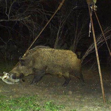 best hog hunting lights 15 best hog hunting bow light images on pinterest