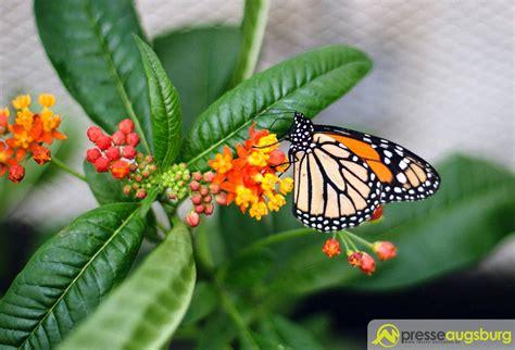 Botanischer Garten Augsburg Schmetterlinge 2016 20160228 Botanischer Garten Schmetterlinge 003 Presse
