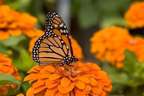 Balon Karakter Terbang Kupu Kupu 3 filosofi kupu kupu si pejuang cantik yang tak kenal kata payah