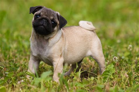 central coast pug rescue available pugs pugs outside pugs outside breeds picture