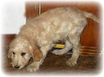 goldendoodle puppies for sale in colorado view ad goldendoodle puppy for sale colorado colorado