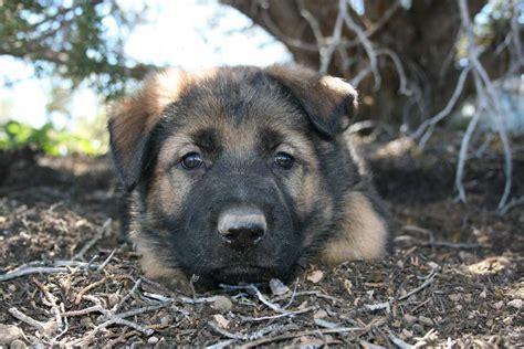 ddr east german shepherd puppies for sale german shepherd ddr german shepherd for sale east german
