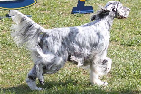 spanish setter dog spanish setter images reverse search
