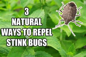 Essential Oils For Garden Pests - 3 ways to naturally repel stink bugs