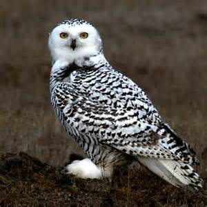 follow the piper snowy owls