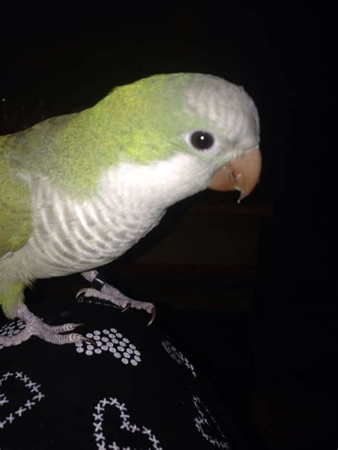 quaker parrot manchester greater manchester pets4homes