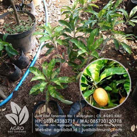 Bibit Tanaman Buah Sawo Manalagi Bibit Sawo Unggul jual bibit sawo varigata okulasi 60 cm agro bibit id