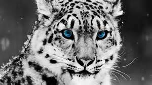 Blue eyes leopard with blue eyes wallpaper hd wallpaper collection